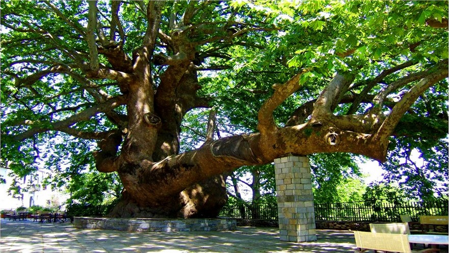 1200 year old Platan tree in the vllage of Tsagarada Pelion Greece